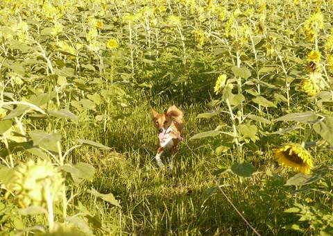 ひまわり畑を駆けるバセ.jpg