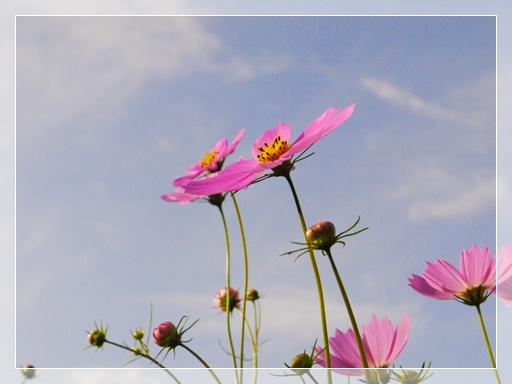 コスモスも咲いてました.jpg