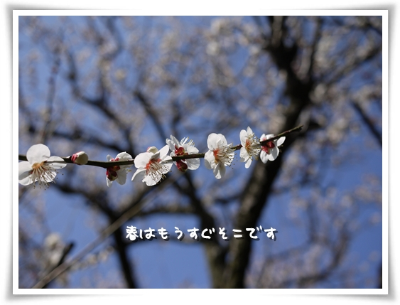 梅がキレイ.jpg