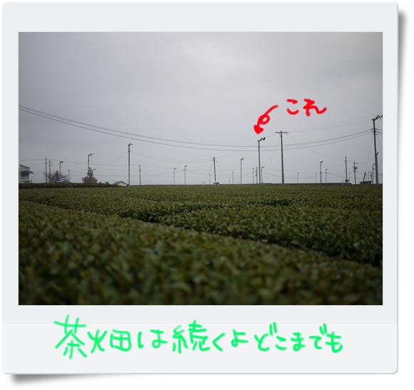 茶畑茶畑♪.jpg