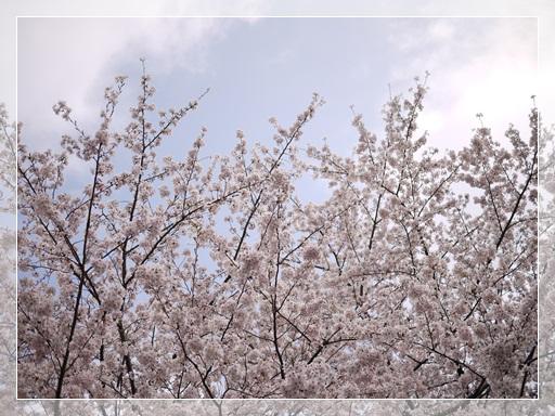 降ってってきそうな桜.jpg