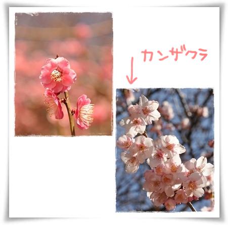 梅と寒桜.jpg