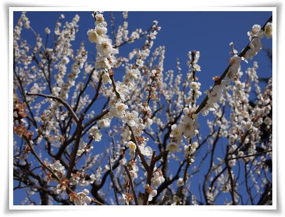 梅は満開.jpg