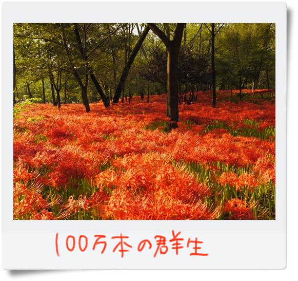 真っ赤なじゅうたんです.jpg